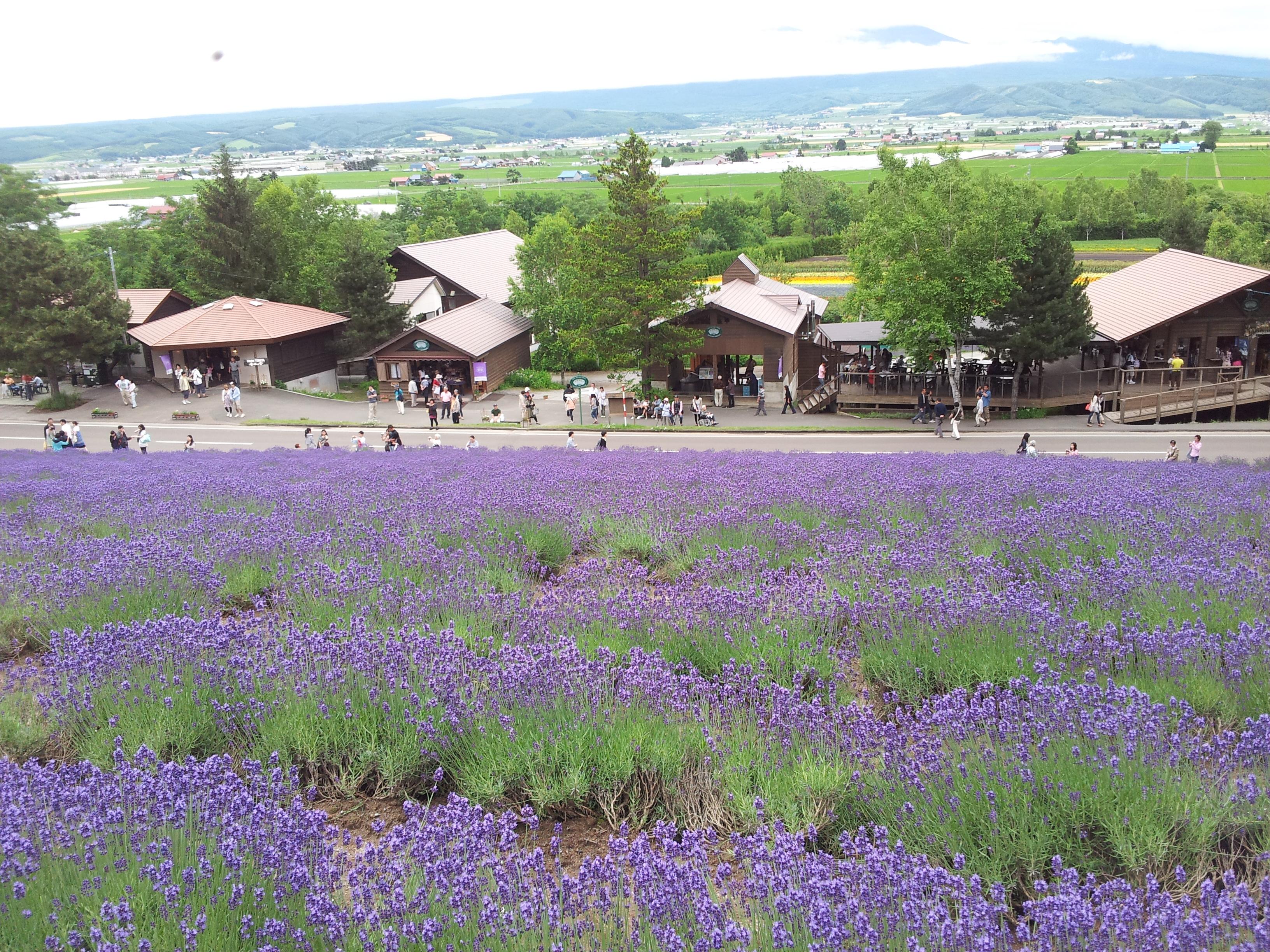 ファーム富田トラディショナルラベンダー畑